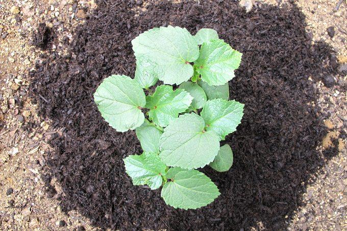 バーク堆肥を蒔いたオクラの苗