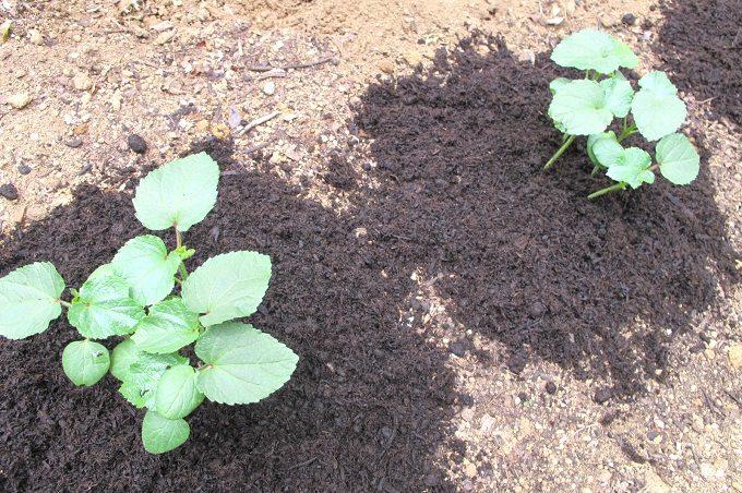 バーク堆肥を蒔いた家庭菜園