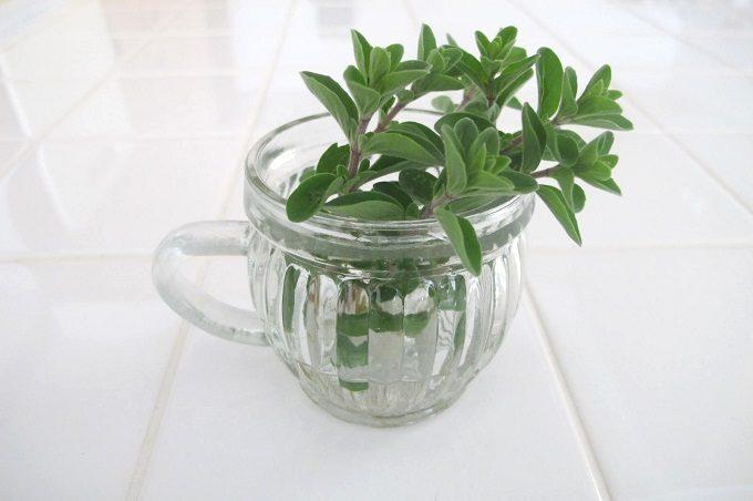 グラスカップ バーレル 植物