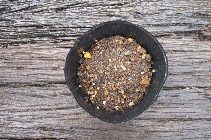 育苗ポットに種を蒔いた青シソ