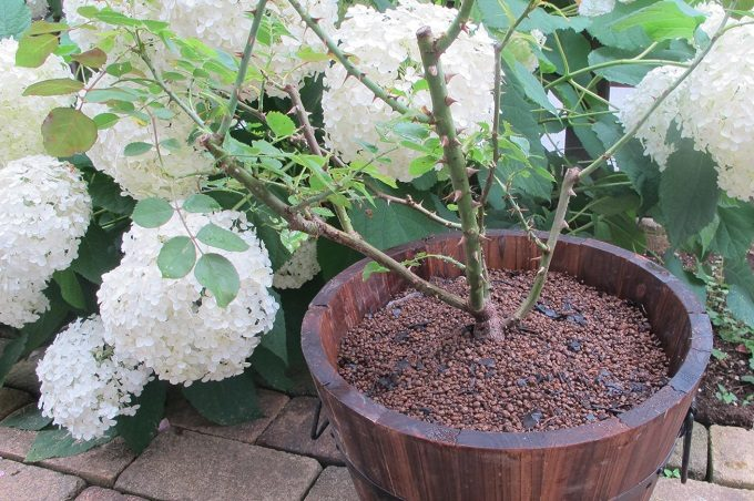焼杉メッシュプランター バラを植えた