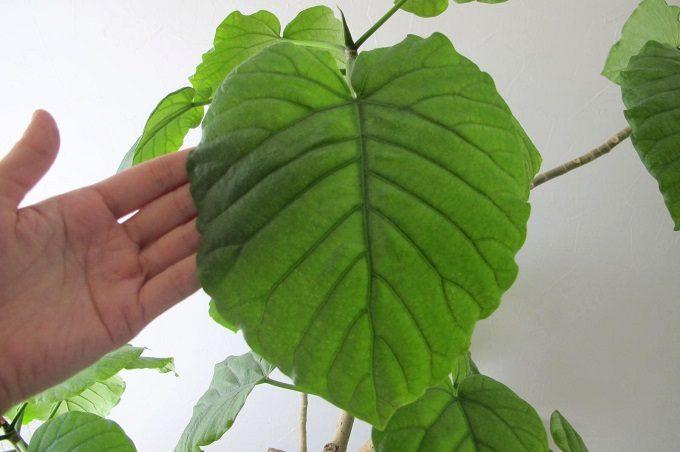 ウンベラータのハート型の葉っぱ